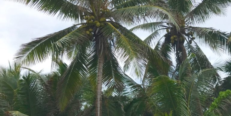 2 large coconut palms in lots